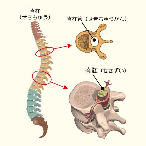 脊柱、脊柱管、脊髄