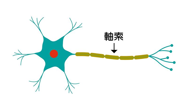 軸索説明図